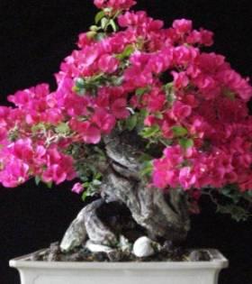 Bugenvileja cvece biljka