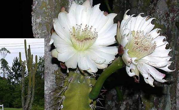 Cereus kaktus