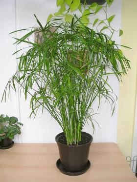 Ciperus, silj, ostrice odrzavanje nega