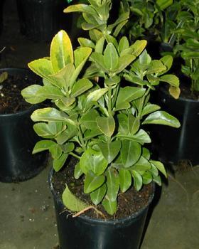 Evonimus, japanska kurika biljka