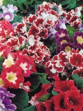 Gloksinija cvece biljka