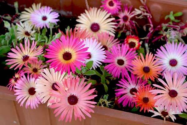 Grcki prkos cvece biljka