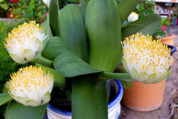 Hemantus slonovo uho cvece biljka