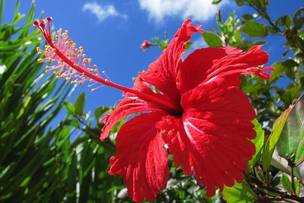 Hibiskus cvece biljka