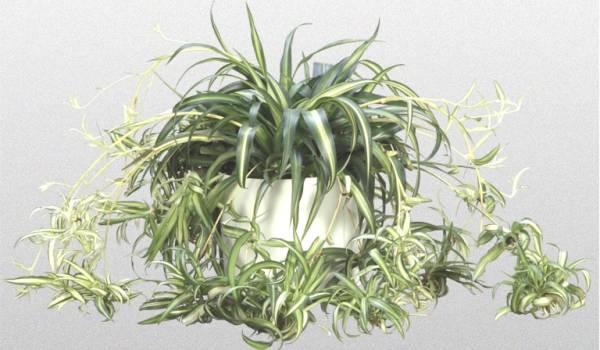 Hlorofitum biljka