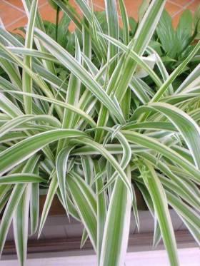 Hlorofitum cvece biljka