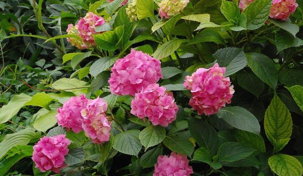 Hortenzija cvece biljka