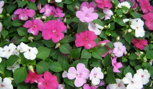 Impaciens ili vodenika cvece biljka