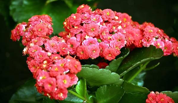 Kalanchoe cvet biljka
