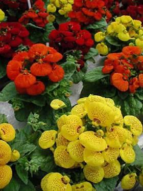 Kalceolarija, papucica cvece biljka