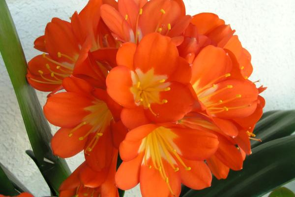 Klivija cvece biljka