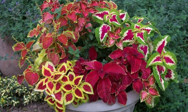 Koleus cvece biljka