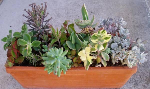 Krasule sobno cvece biljka