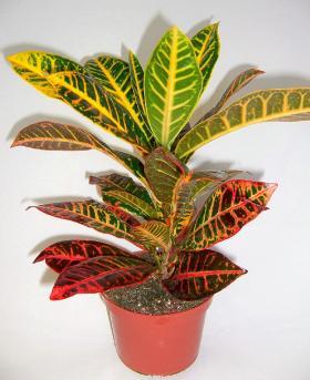 Kroton cvece biljka