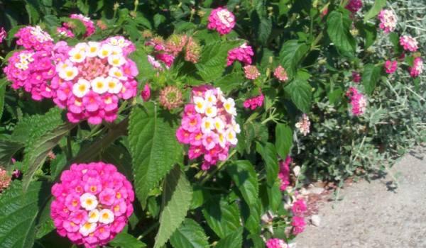 Lantana cvece bilje
