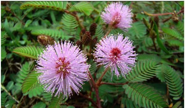 Mimoza cvece biljka