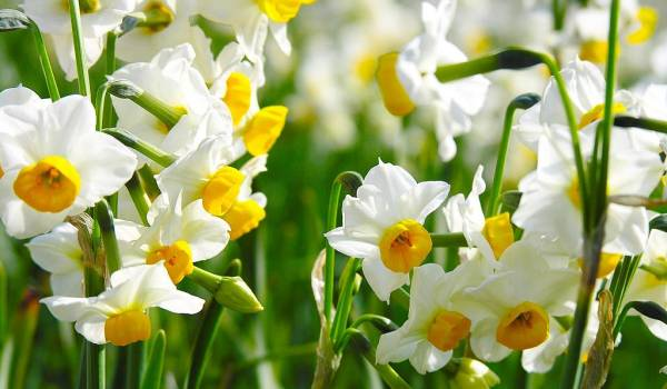 Narcis sobno cvece biljka