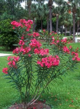 Oleander gajenje nega