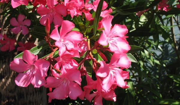 Oleander sobno cvece biljka
