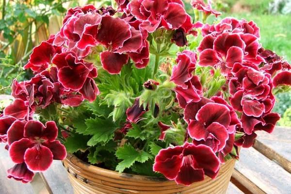 Pelargonija sobno cvece