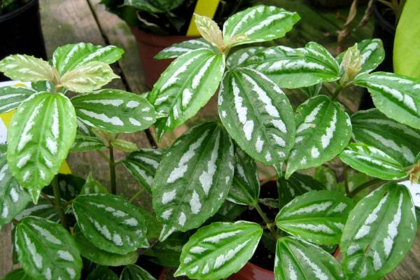 Pilea ukrasno bilje odrzavanje
