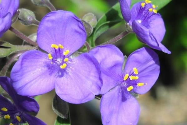 Puzavac sobno cvece biljka