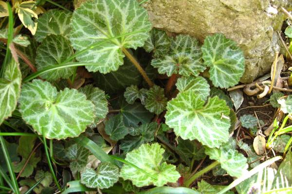 Saksifraga ili kamenika sobno cvece biljka
