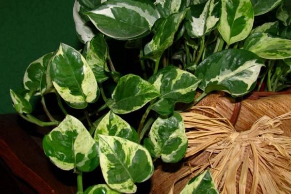 Scindapsus ukrasno bilje odrzavanje
