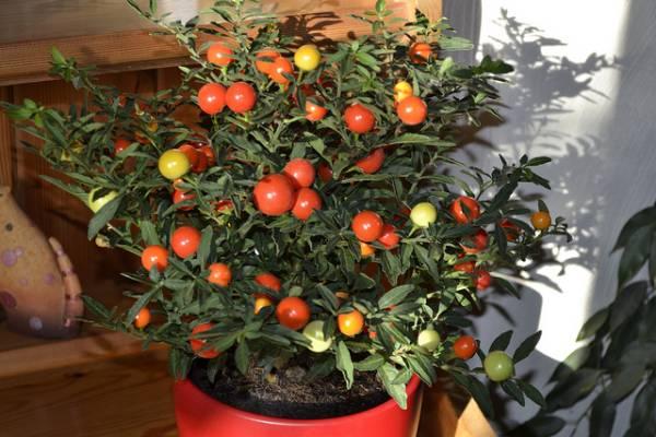 Solanum sobno cvece biljka nega