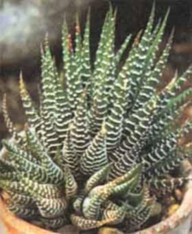 Sukulenti ukrasno bilje odrzavanje