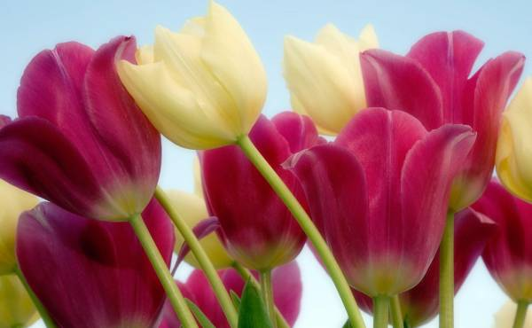 Tulipan sobno cvece bilje