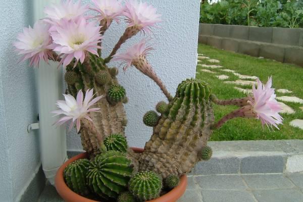 Kaktusi sve vrste i nazivi - sobno cveće, ukrasno bilje, sorte  CVEĆARSTVO