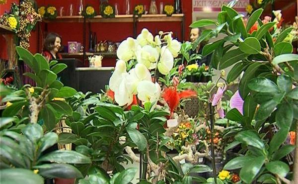 fikus cvece biljka