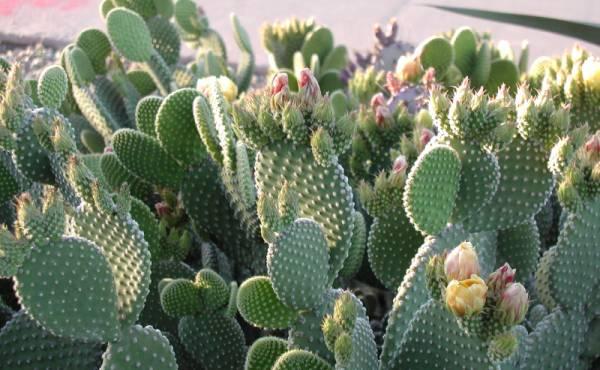 opuntia kaktus