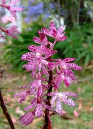 orhideje gajenje zalivanje