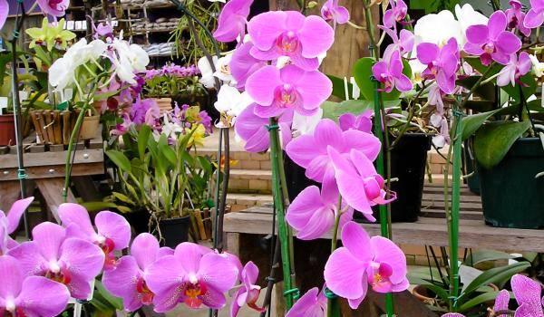 orhideje sobno cvece biljka