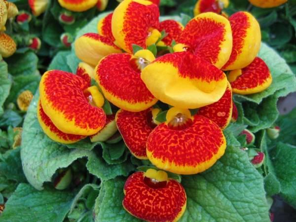 papucica biljka cvece