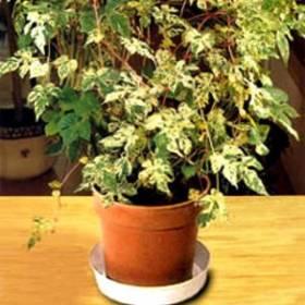 Sobna loza (Ampelopsis orientalis)