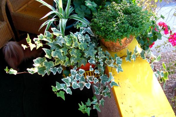 sobni brsljan cvece biljka