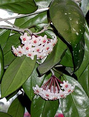 vostani cvet nega odrzavanje