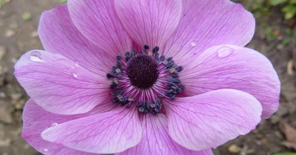 Anemone –  baštenske lepotice koje sporo rastu