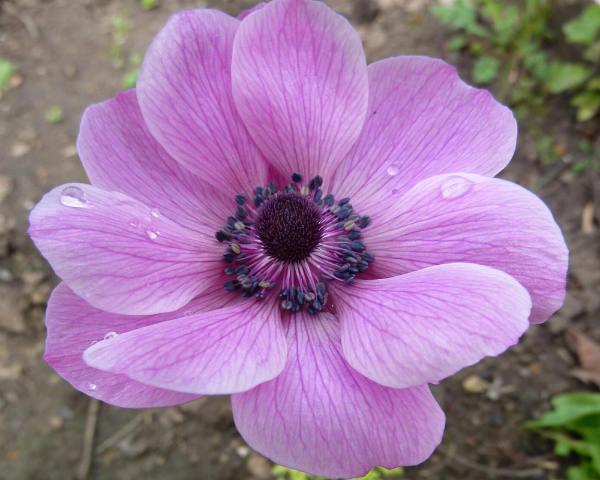 Anemone cvece