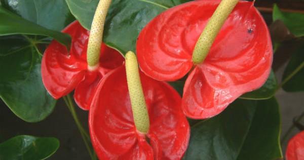 "Anturijum – prelepi ""flamingov cvet"""