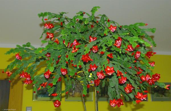 Bozicni kaktus gajenje