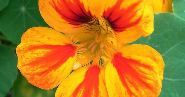 Dragoljub – dekorativna i lekovita puzavica