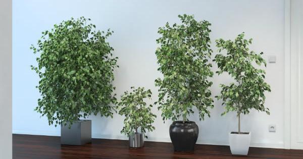 Fikus bendžamin – dekorativno sobno drvo može doživeti i 15 godina!