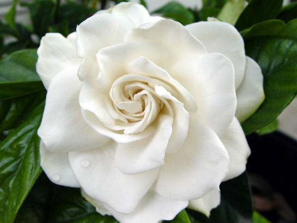 Gardenia gajenje
