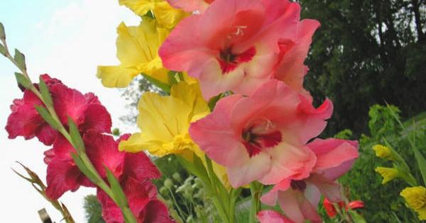 Gladiole – omiljeno baštensko cveće