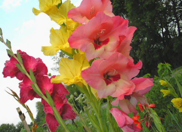 Gladiole cvece