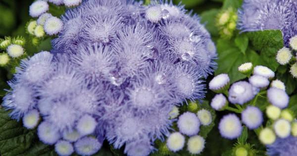 Goruća ljubav (Ageratum) – letnji cvetni tepih u bašti